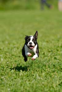 A dog running in the grass