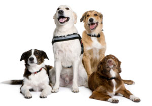 How To Clicker Train Multiple Dogs