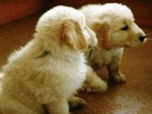 Clicker Training a Puppy Litter