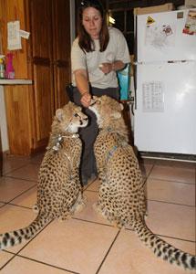 clicking cheetahs
