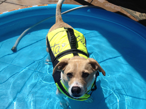 Dog wearing life jacket in a kiddie pool.