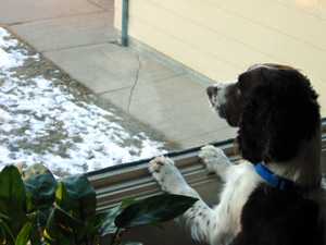 Dog waiting for the mailman