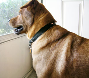 dog waiting at window