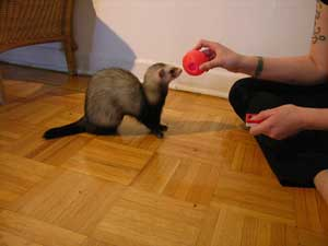 ferret touching a ball held by trainer