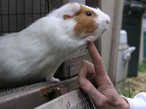guinea pig high five to finger