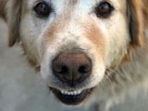 Aggressive Dogs: Nature or Nurture?