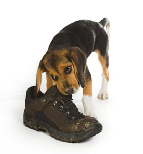 Puppy chewing on a boot.