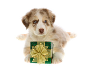 Puppy with a gift box between its paws