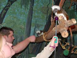 Cotton-top tamarins stationing with basic hand targets
