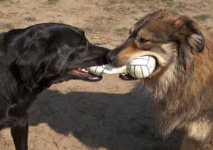 Two dogs playing tug with a chew toy