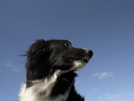 border collie looking at blue sky
