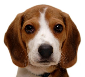 How To Train Your Puppy To Ring A Bell To Potty Karen Pryor Clicker Training