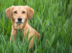 dog in tall grass