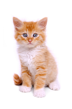 how to train a kitten use the litter box