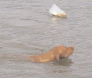 gundog in the water