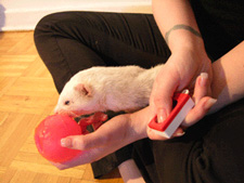 ferret touching ball