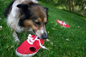 dog chewing on shoes