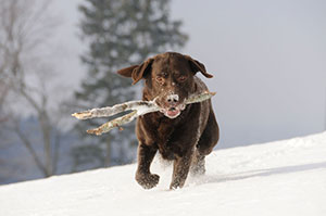 Dog running in the snow carrying a stick